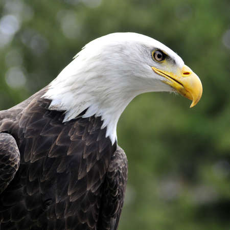 Majestic Bald eagle looking for prey - square image Stock Photo