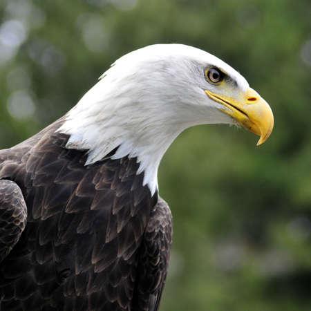 Majestic Bald eagle looking for prey - square image Zdjęcie Seryjne
