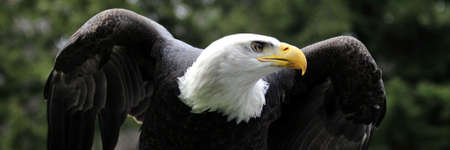 Majestic Bald eagle in taking off - panorama Stock Photo