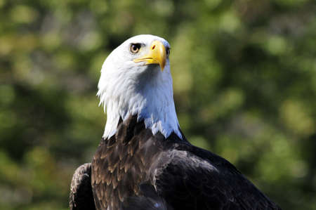 Majestic Bald Eagle on a branch