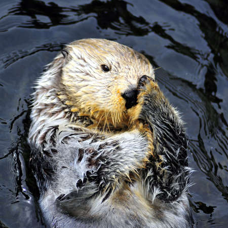 Sea otter cleaning face at the Vancouver Aquarium