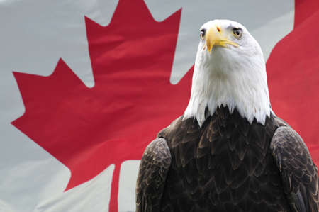 Majestic Bald eagle in front of Canadian flag