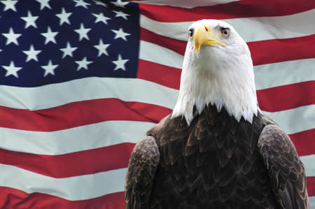 eagle feather: Majestic Bald eagle in front of USA flag