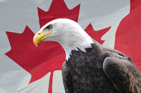 Majestic Bald Eagle looking sideways in front of Canadian flag
