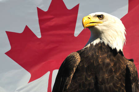 Majestic Bald Eagle in front of Canadian Flag in the sun