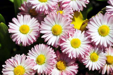 Pink English daisies in the spring (Bellis Perennis)