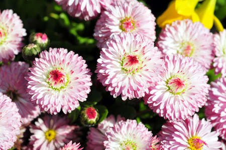English daisy flowers in the spring at the Butchart gardens in Victoria, BC