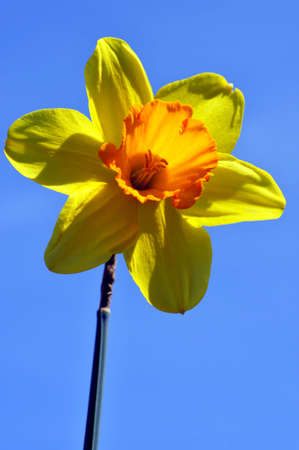 Spring daffodil against a backdrop of the sky