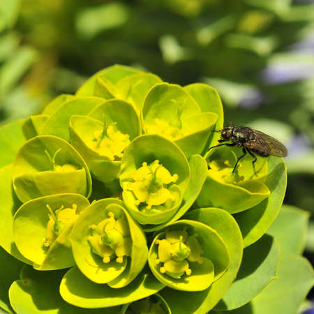 Fly sipping nectar on green flower in the Butchart gardens in Victoria, BC Stock Photo