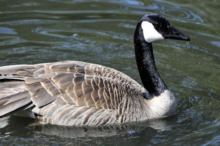 Canada goose with dripping water off beak and body