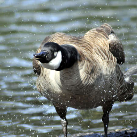 Canada goose shaking water off its body