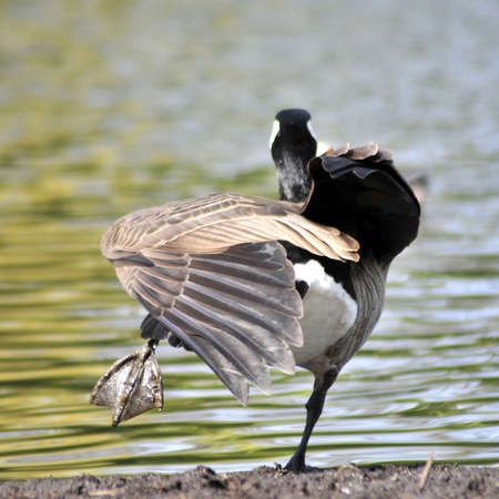 Canada goose stretching and balancing on one leg
