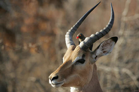 springbok: Springbok and Bird