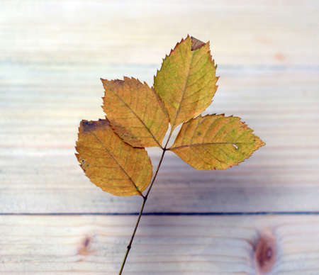 The beautiful yellow leaf is placed on the wood, which suggests the transience of life 스톡 콘텐츠