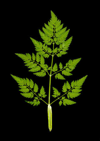Shushan leaf on a black background is a perfect image for design