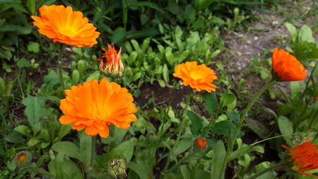 in a green meadow where four marigold flowers are blooming, it is remarkable to see the spring awakening 스톡 콘텐츠
