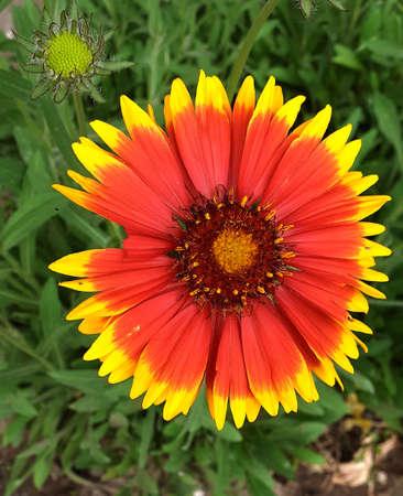 two-color flower gailardia surprises with its color