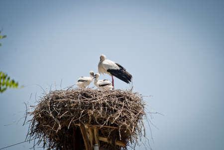 a mother stork with her two cubs stands in her nest