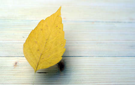 autumn's beautiful yellow cherry leaf seems to hover over the antique table surface