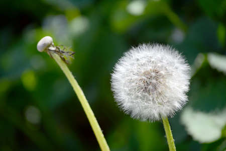 an open dandelion is ready to stand in front of the wind so that it spreads its seeds 스톡 콘텐츠