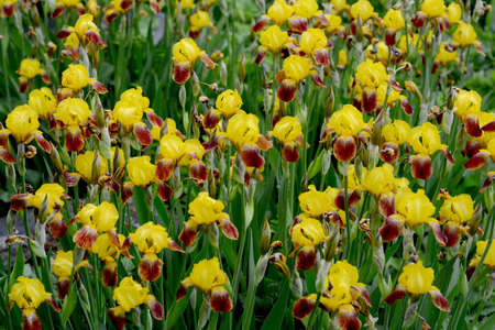field of blooming yellow irises, where many flowers Shine everyone tries to show their beauty 스톡 콘텐츠