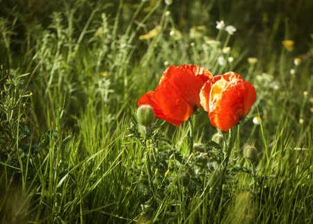 Two wild poppy flowers in the wild