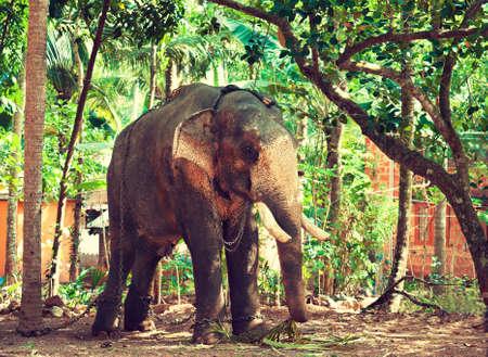 kerala: India. Kerala state.Elephant in chains.