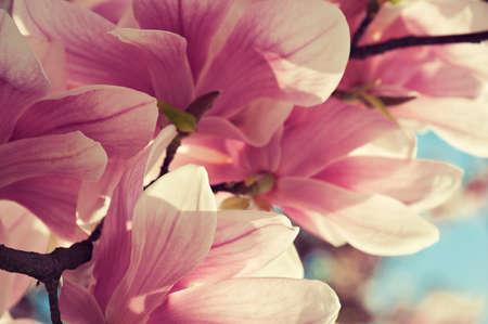 exotic flowers: Flowers of magnolia Stock Photo