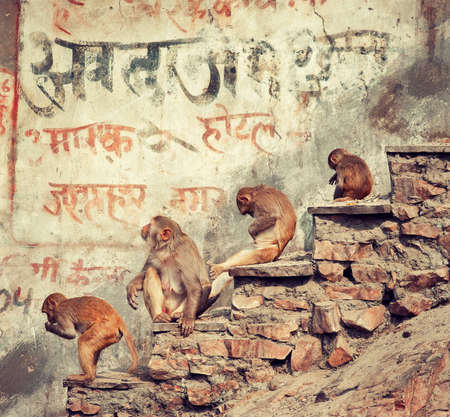 rajasthan: Jaipur, Rajasthan state, India.Monkeys sitting on street.