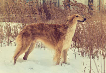 Perfect shape and fur of Russian borzoi breed dog.Pedigreed Wolfhound.