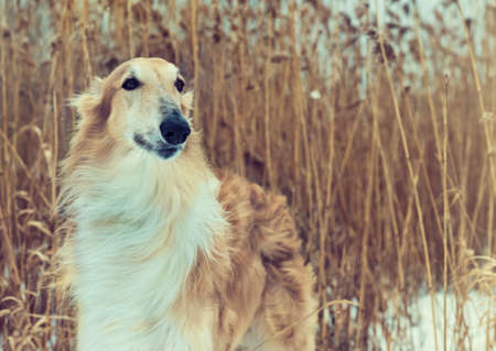 Close-up portrait of hound dog Russian borzoi breed with yellow reed on the background.   Pedigreed Wolfhound. Banco de Imagens