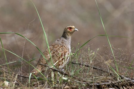 phasianidae: Daurian Partridge