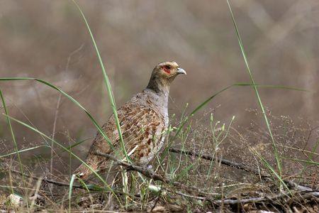 kuropatwa: Daurian Partridge