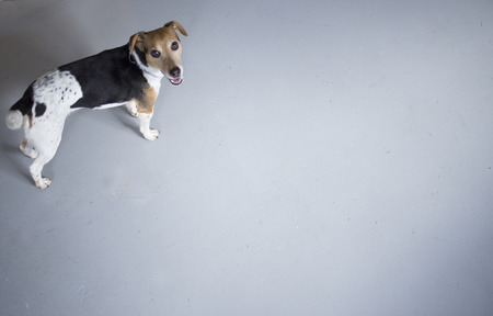 Little brown, white and black dog looking at the camera portrait plain blue background shot from above.