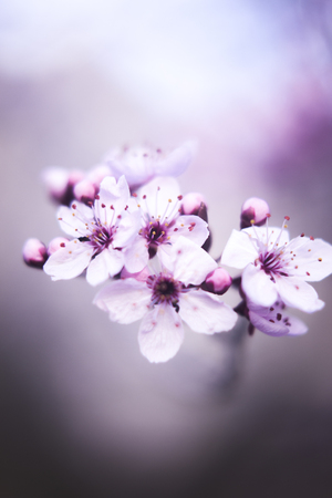 Beautiful cherry tree blossom branch flowers and petals closeup pink and purple macro photo in Spring Easter time.