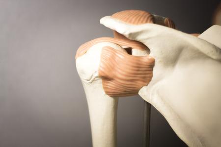 tendons: Shoulder joint plastic teaching model for taumatology and orthopedics showing bones, tendons and back.