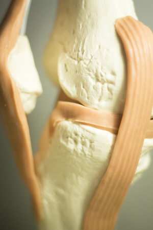 leg muscle fiber: Knee joints meniscus tendons plastic teaching model for taumatology and orthopedics.