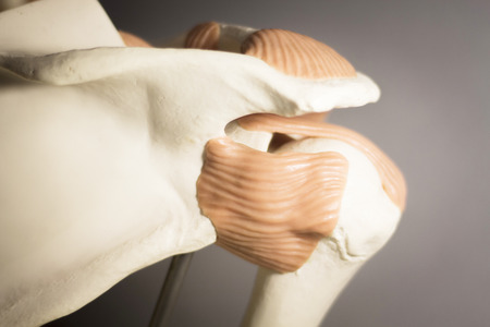tendons: Shoulder joint plastic teaching model for taumatology and orthopedics showing bones, tendons and back.
