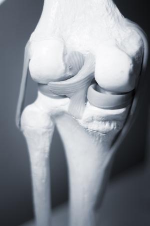 Knee joints meniscus tendons plastic teaching model for taumatology and orthopedics.