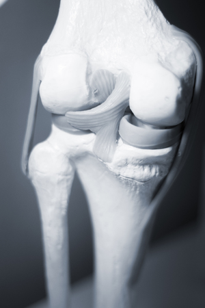 tendons: Knee joints meniscus tendons plastic teaching model for taumatology and orthopedics.