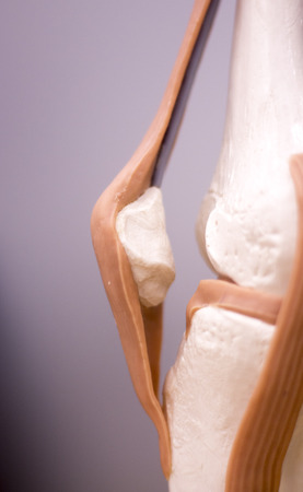 Rodilla Y Menisco Estudio Médico Modelo De Anatomía Del Estudiante ...