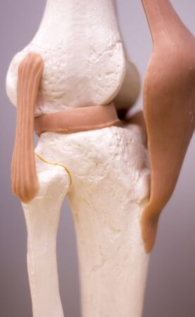 Knee and meniscus medical study student anatomy model showing bones, tendons and ligaments for teaching in clinic.