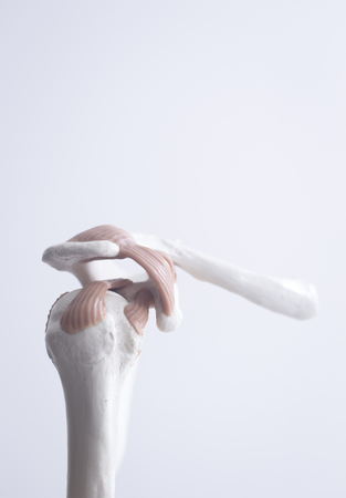Human shoulder joint  medical teaching model showing bones ligaments, tendons and cartilage.