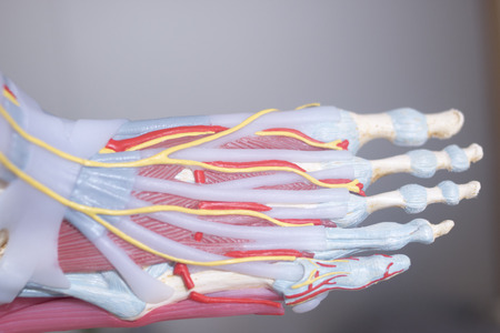 Human foot toes medical teaching model showing bones ligaments tendons and cartilage.