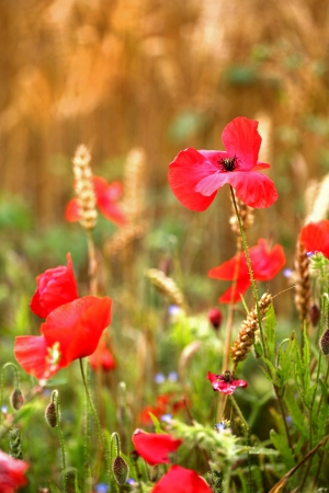 Poppies Wild Flower -  papaver rhoeas  Remembrance Day photo