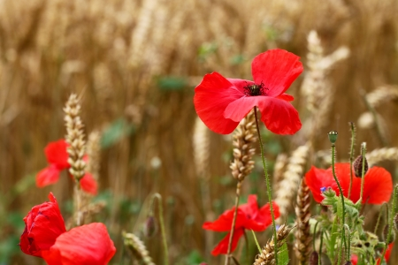 Poppies Wildflower - red, remembrance, pride, pretty Stock Photo - 16436140