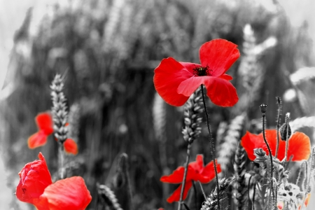 Red Poppy   Poppies Wildflower - Remembrance Day Stock Photo