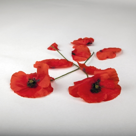 remembrance day: Poppies - for Remembrance Day - on White
