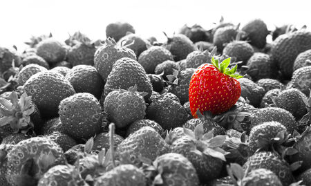 stand out: Business Advertising - Stand Out. PR Business concept with bright red strawberry against many other black and white strawberries.