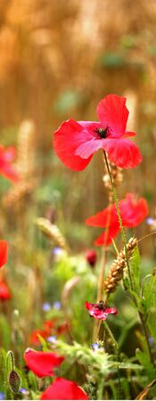 remembrance: Red wild poppies, for Remembrance Day - with text  copy space.